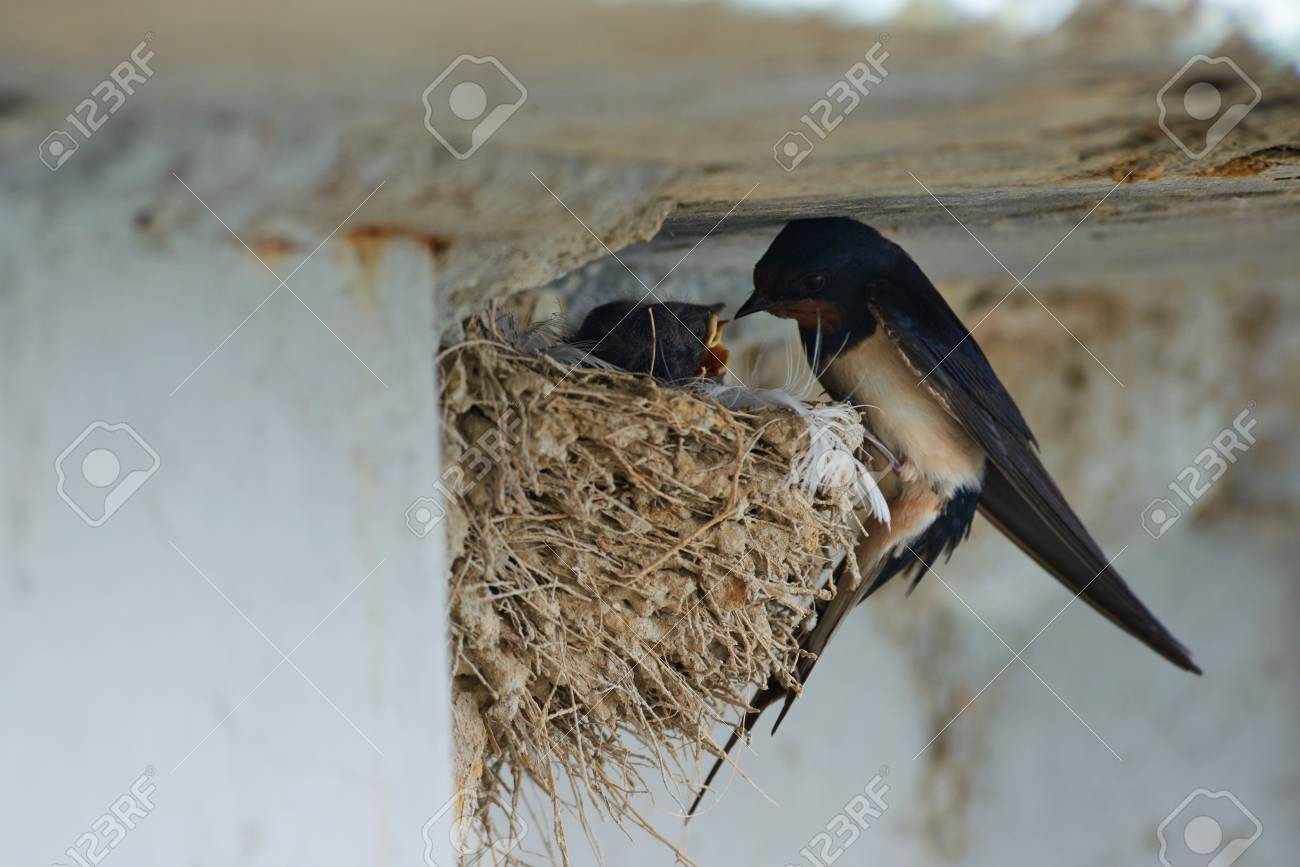 Nest of swallows. The swallows and martins, or Hirundinidae, are of the family of the passerine birds. - 93122547
