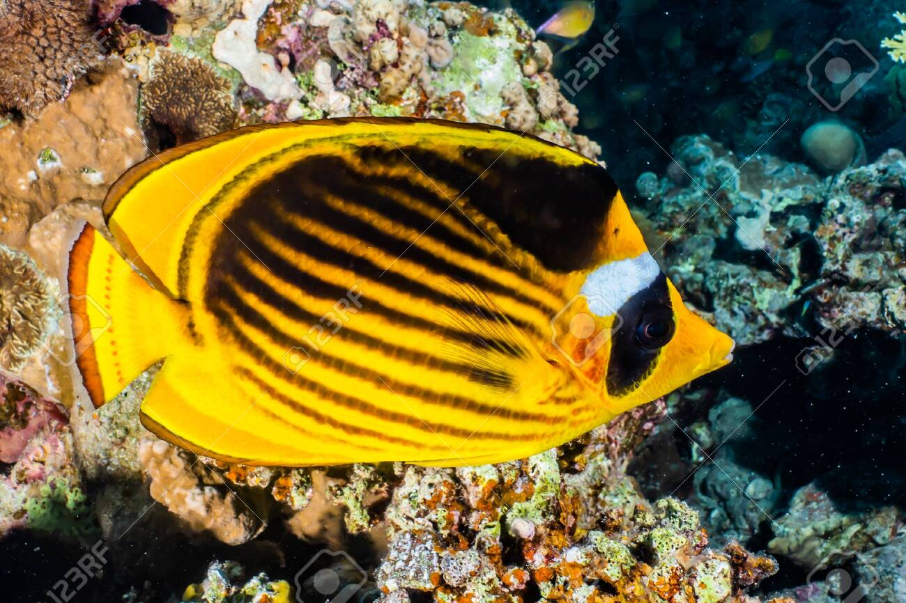 Fish swim in the Red Sea, colorful fish, Eilat Israel - 138511408