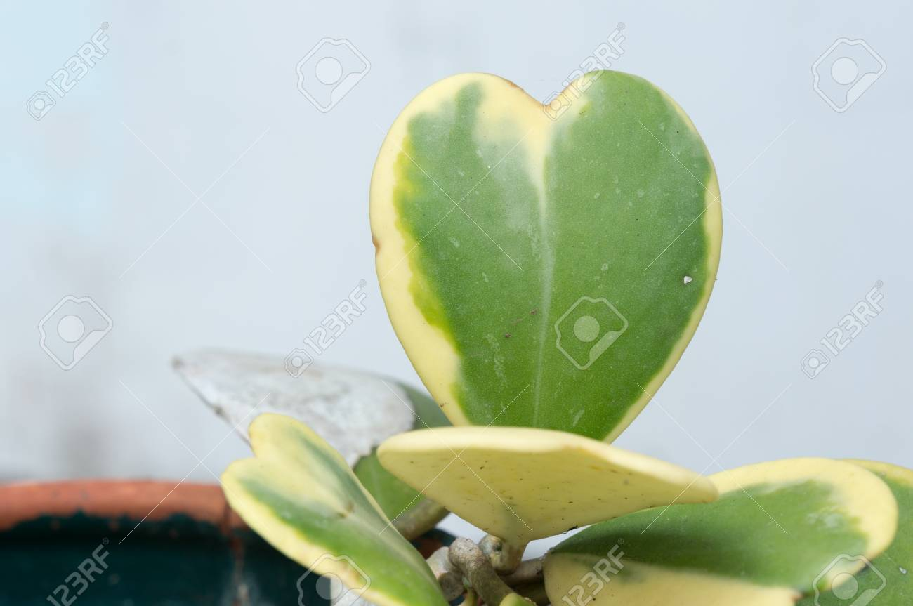 Hoya Kerrii Craib In Pot Heart Shaped Plant Sweetheart Hoya Stock