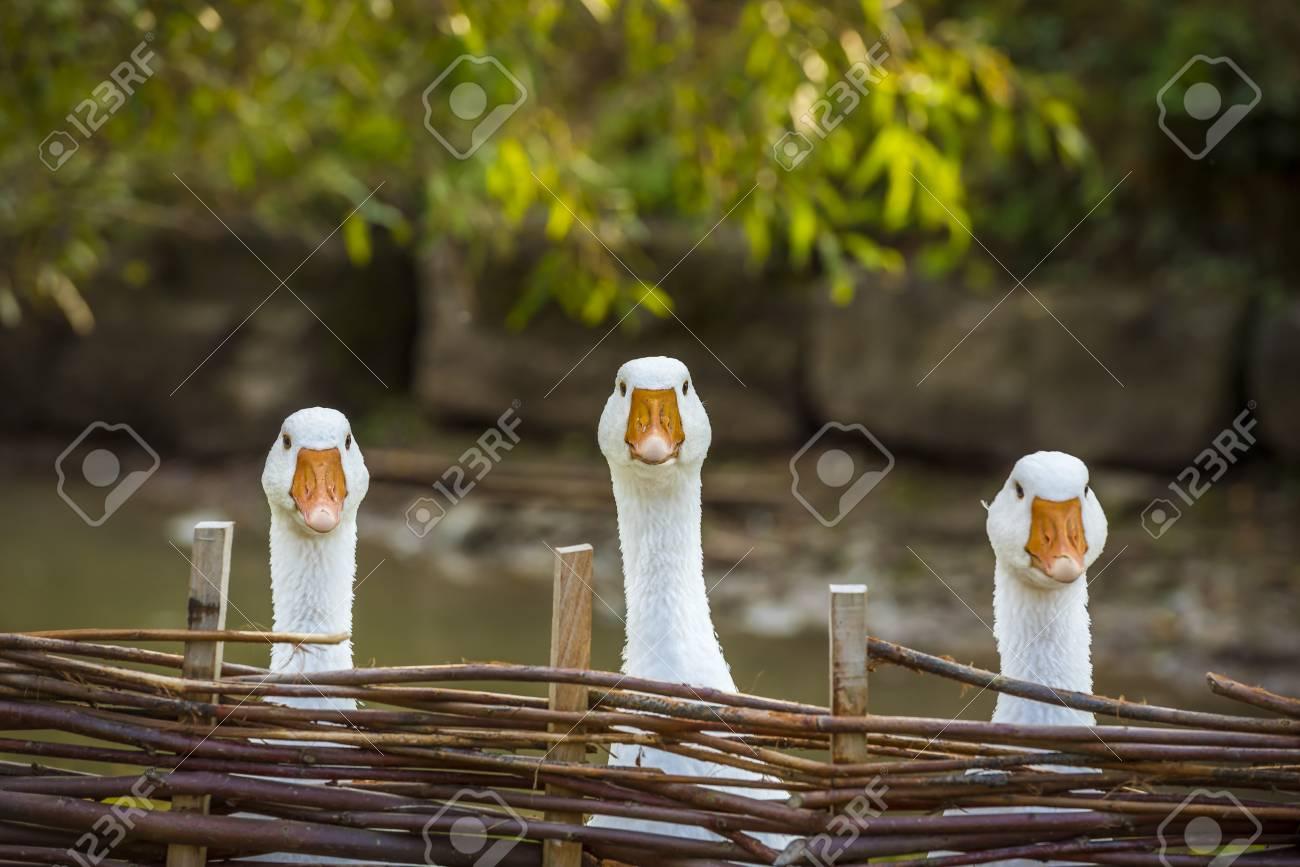 Drei Lustige Weisse Ganse Lustiges Bild Mit Drei Gansen Hinter