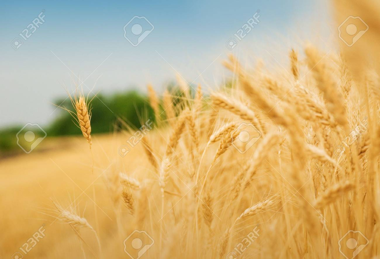 Yellow grain ready for harvest growing in a farm field Stock Photo - 9103020