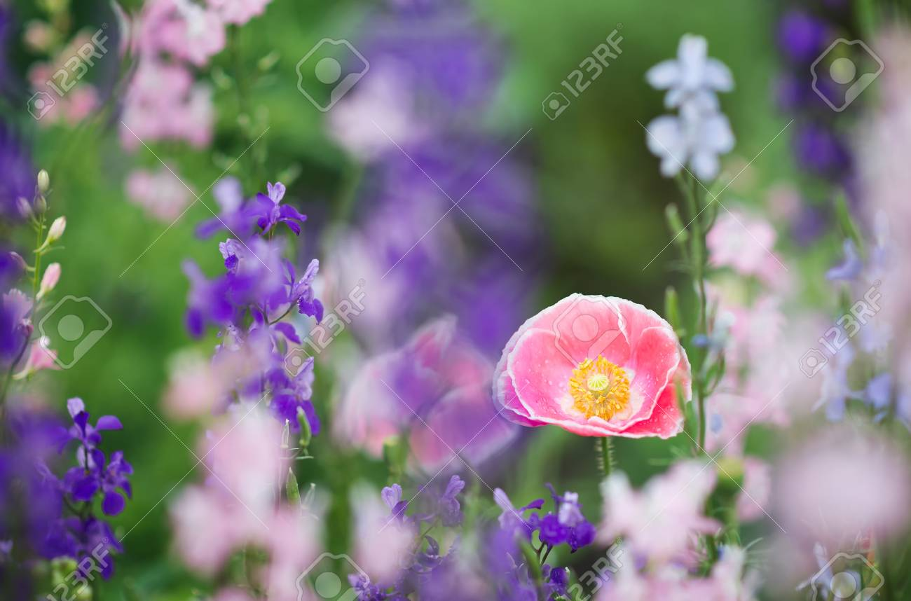 Pink Poppy Flower In Flower Field Stock Photo Picture And Royalty