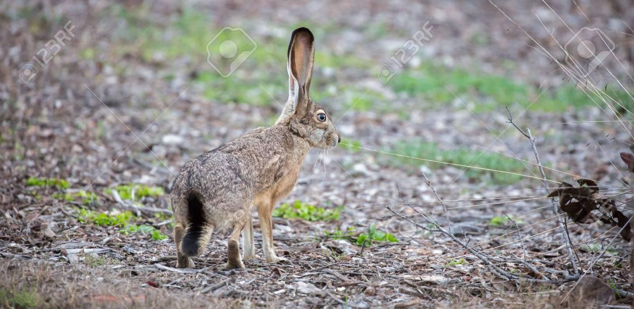 Jack Rabbit Usa >> Black Tailed Jackrabbit Lepus Californicus Side View Camouflaged