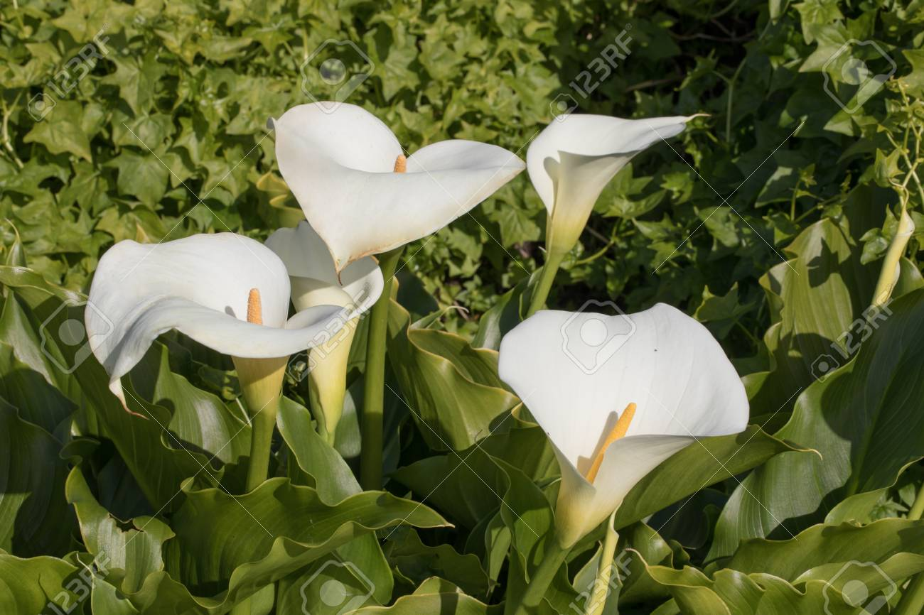 Leaves and inflorescence of calla lilies arum lily flowers blooming leaves and inflorescence of calla lilies arum lily flowers blooming in nature stock photo izmirmasajfo