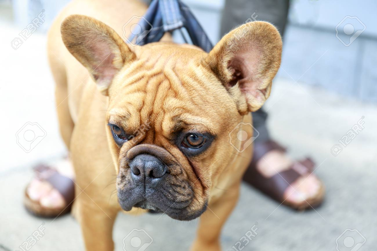 French Bulldog Puppy Male Brown In A Street In San Francisco Stock Photo Picture And Royalty Free Image Image 97143560