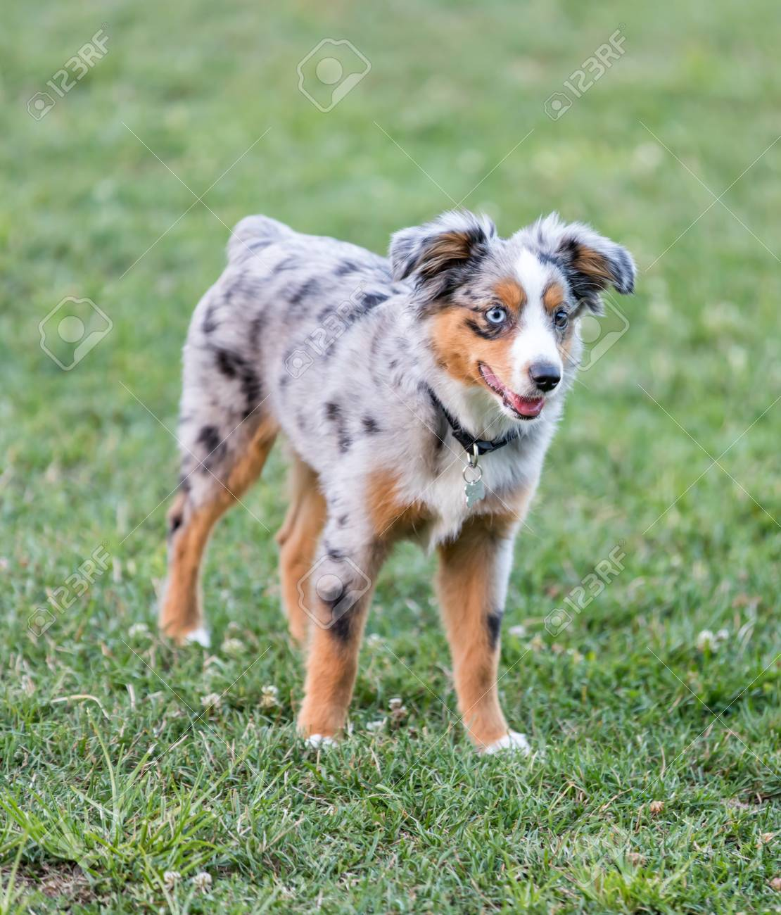 Blue Merle Australian Shepherd Puppy Standing Off Leash Dog Stock Photo Picture And Royalty Free Image Image 106849822