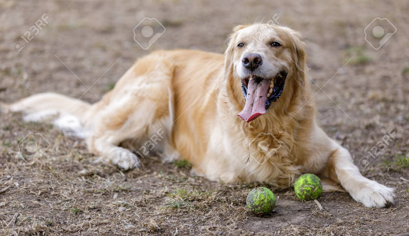 Golden Retriever Male Adult Resting Next To Tennis Balls Off Leash