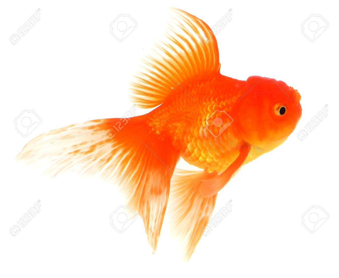 Goldfish Stock Photo - 18651526