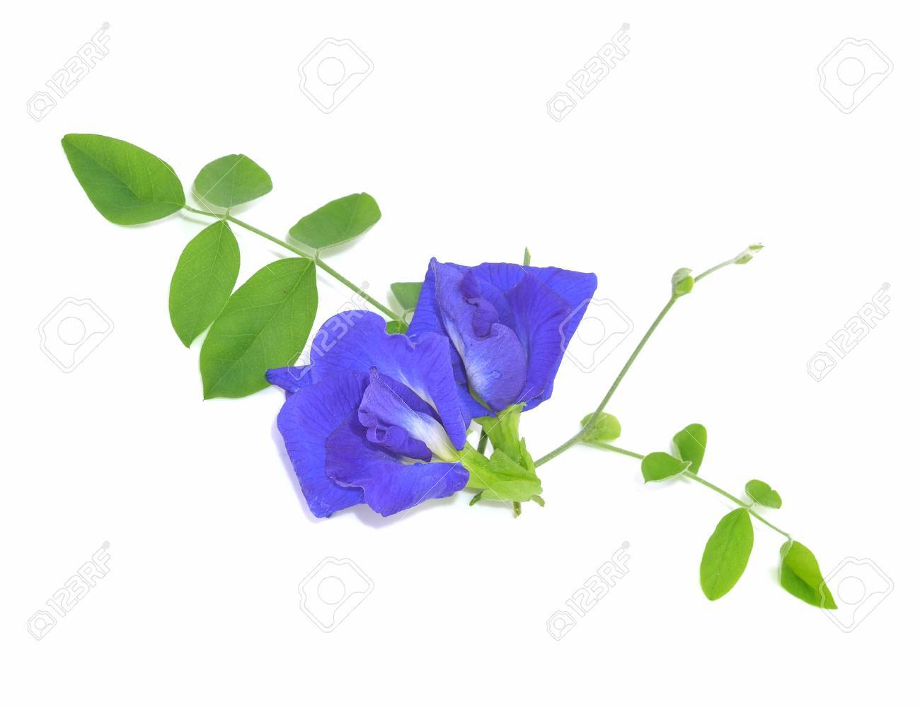Blue Sweet Pea Flowers Isolated On White Background Stock Photo