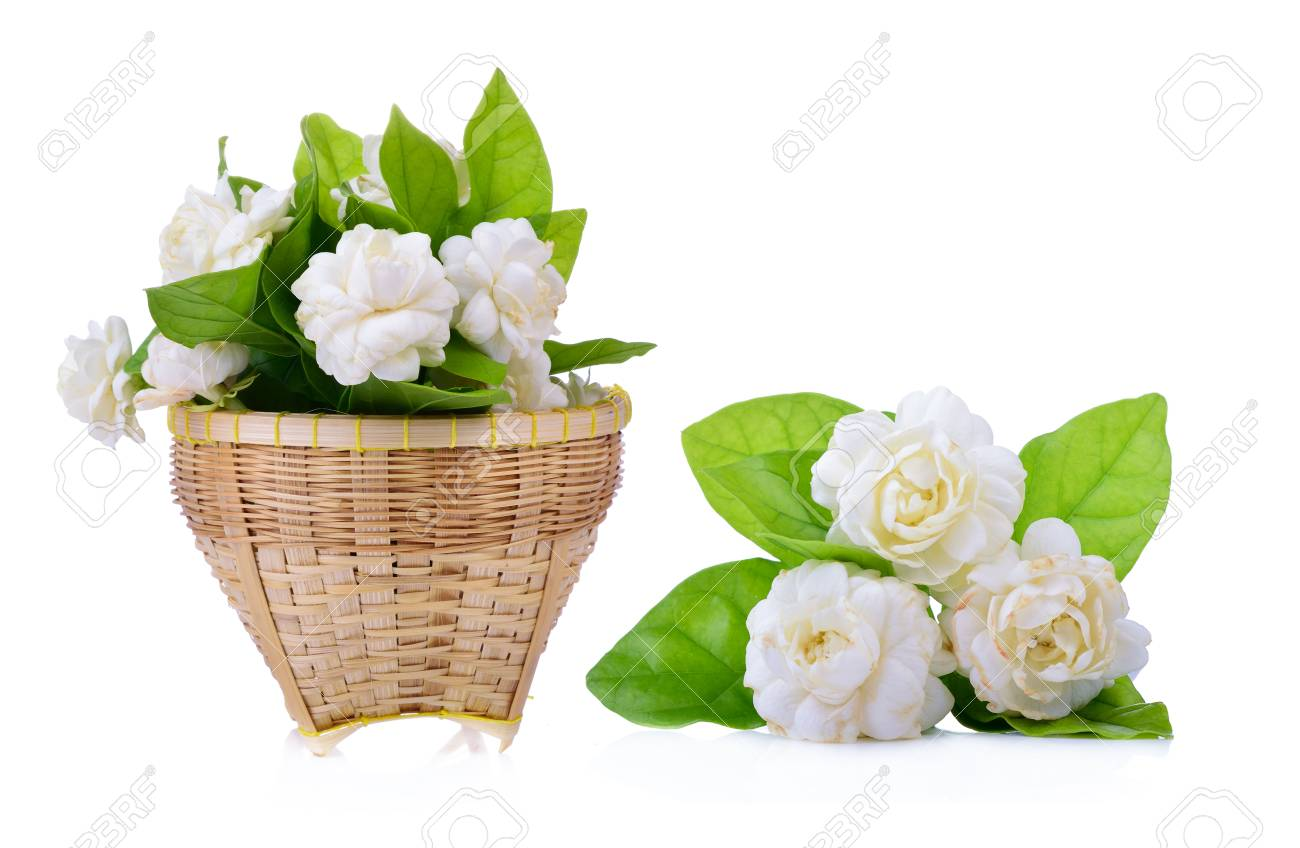 Arabian Jasmine Jasminum Sambac Flower And Leaves Jasmine Stock