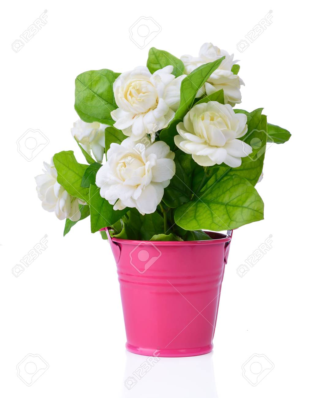 Arabian Jasmine Jasminum Sambac Flower And Leaves Jasmine Stock