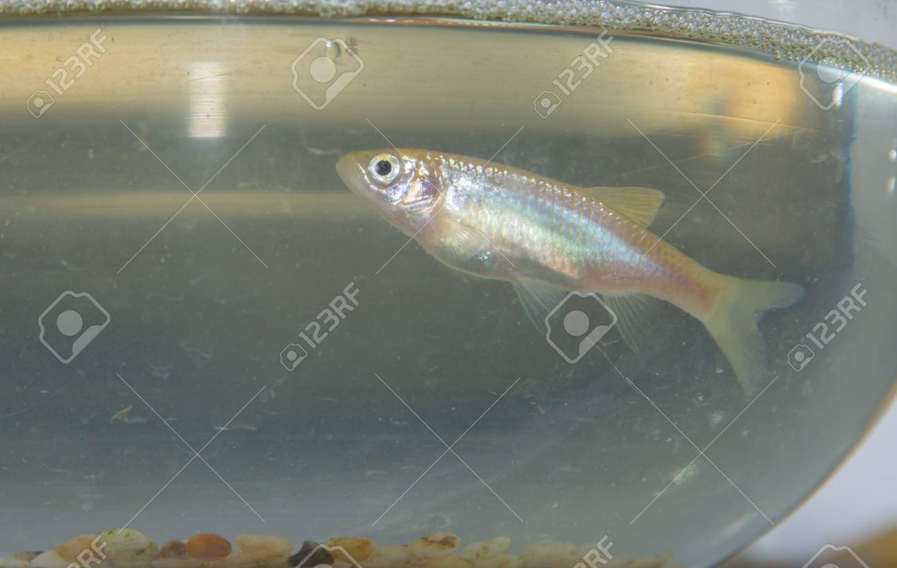 crucian in the fish tank,it is very important to biological conversation, as a rare sample Stock Photo - 19157730