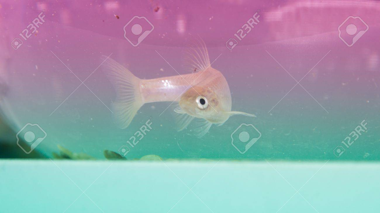 crucian in the fish tank,it is very important to biological conversation, as a rare sample Stock Photo - 19059810