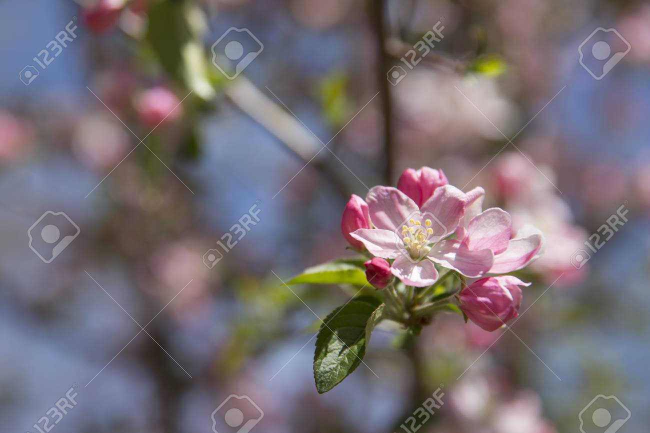 pink crabapple blossom