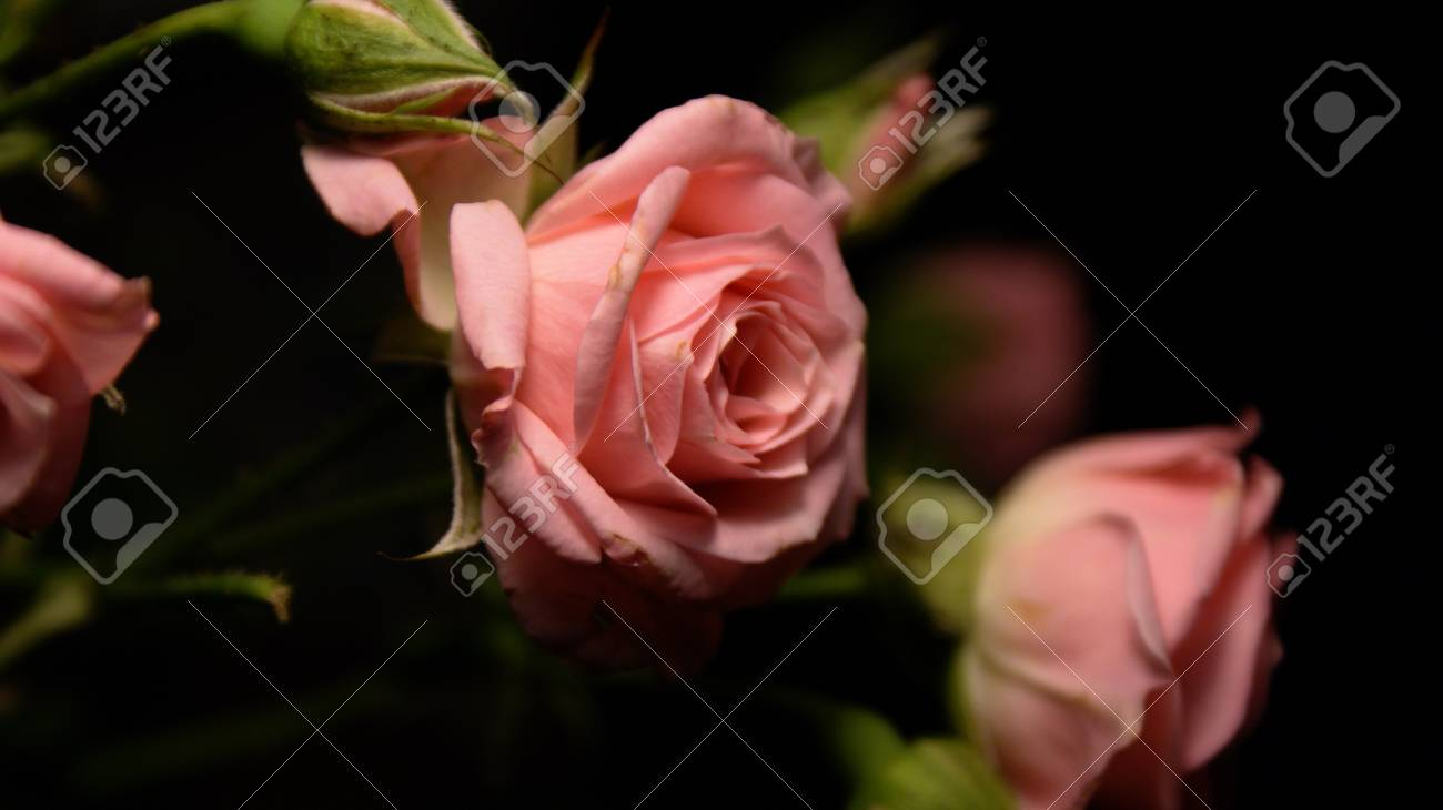 Roses Black And Pink Close Up Of Flowers And Buds Polyanthas
