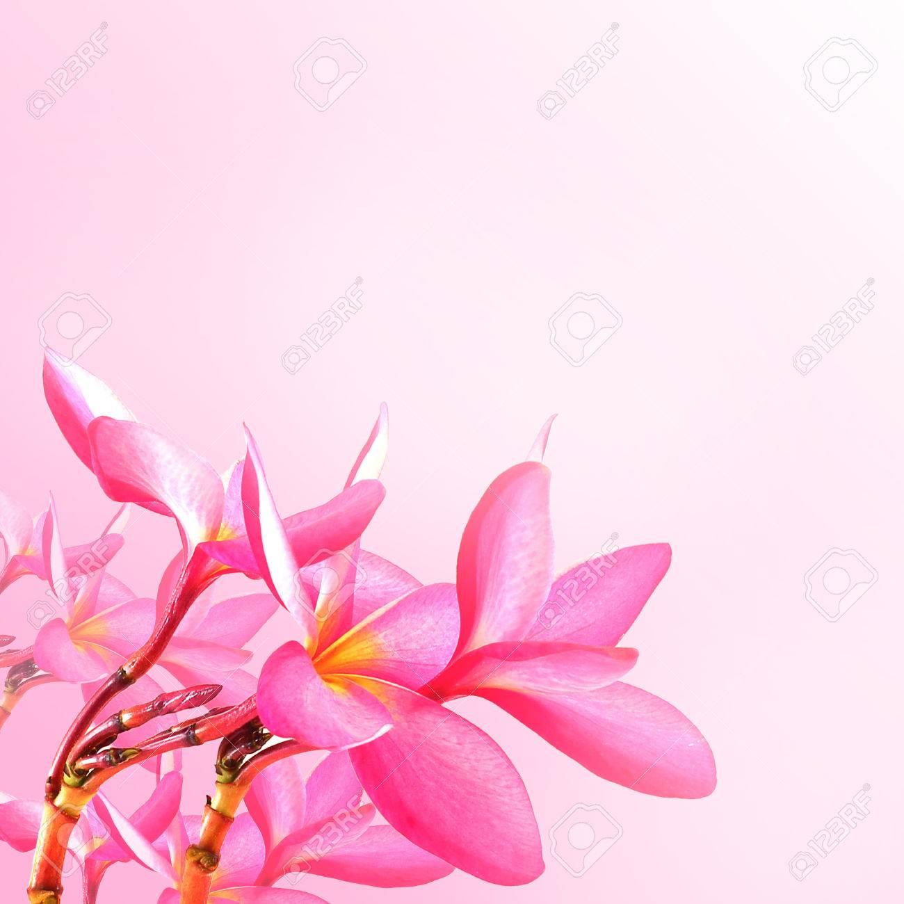 Flower background pink plumeria flowers to create a beautiful stock flower background pink plumeria flowers to create a beautiful stock photo 28137602 mightylinksfo