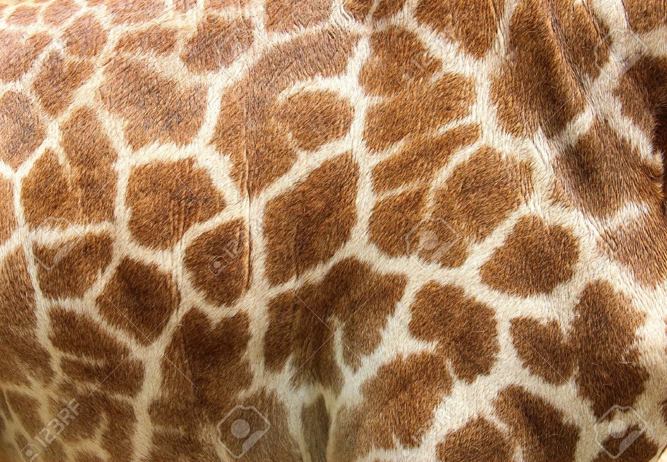 giraffe face stock photos u0026 pictures royalty free giraffe face