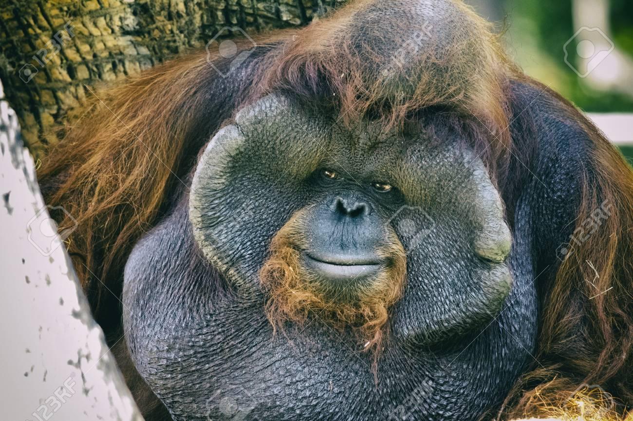 オレンジ色の大きな男性のオランウータン サルのイメージ野生動物