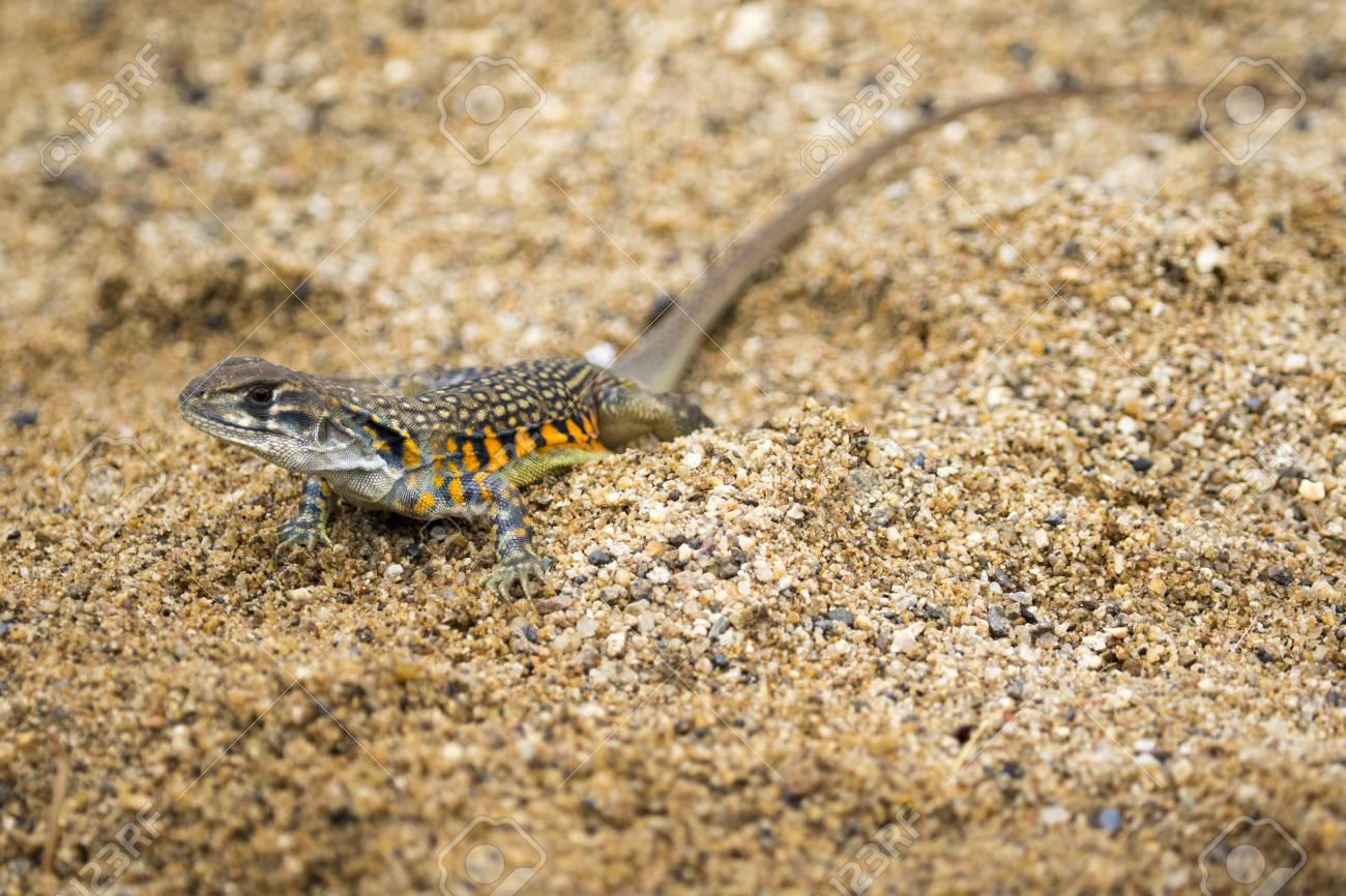 sable reptile