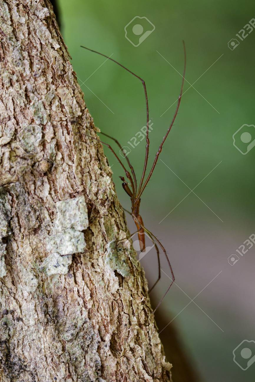 Image Of Daddy Long Legged Spiders Pholcidae On The Tree Insect