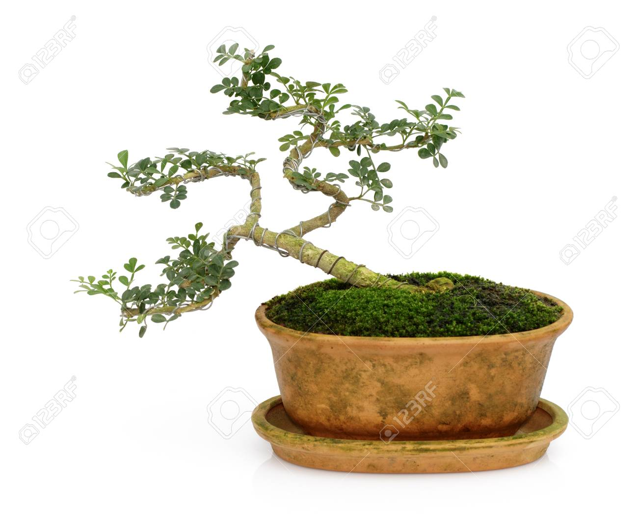 Image Of Mini Bonsai In The Pot Tree On A White Background