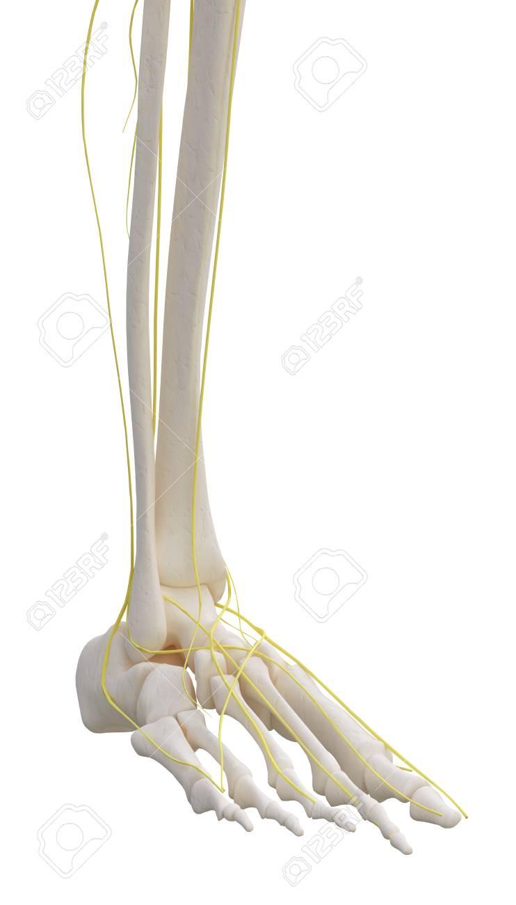 Beste Nerv In Beine Bilder - Anatomie Von Menschlichen Körperbildern ...
