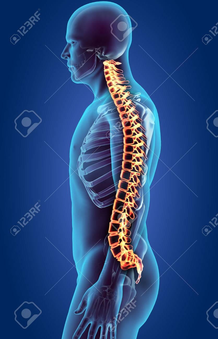 Skelett-System - X-ray Menschliche Wirbelsäule, Medizinisches ...