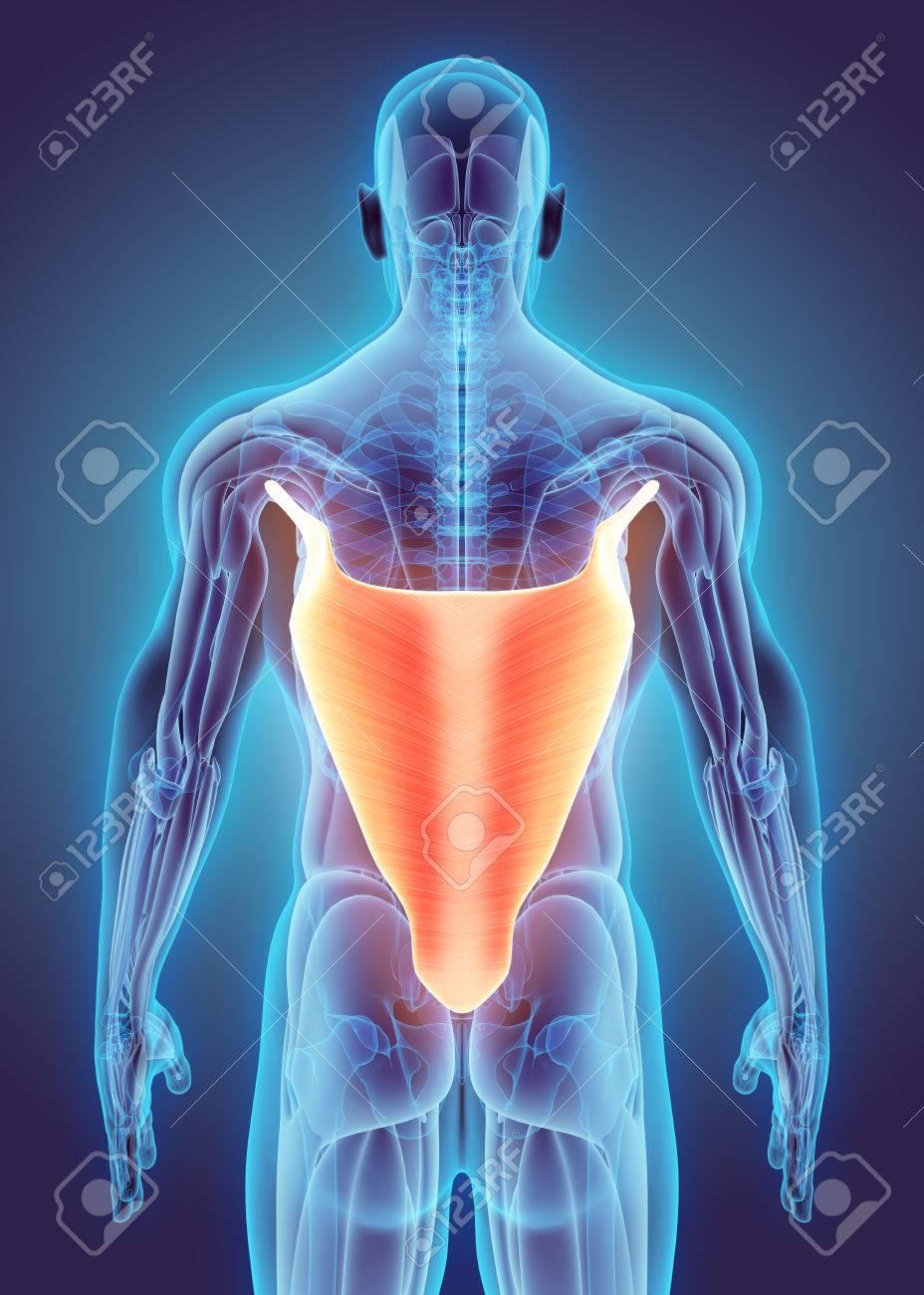 Ilustración 3D Del Dorsal Ancho, Parte De La Anatomía Muscular ...