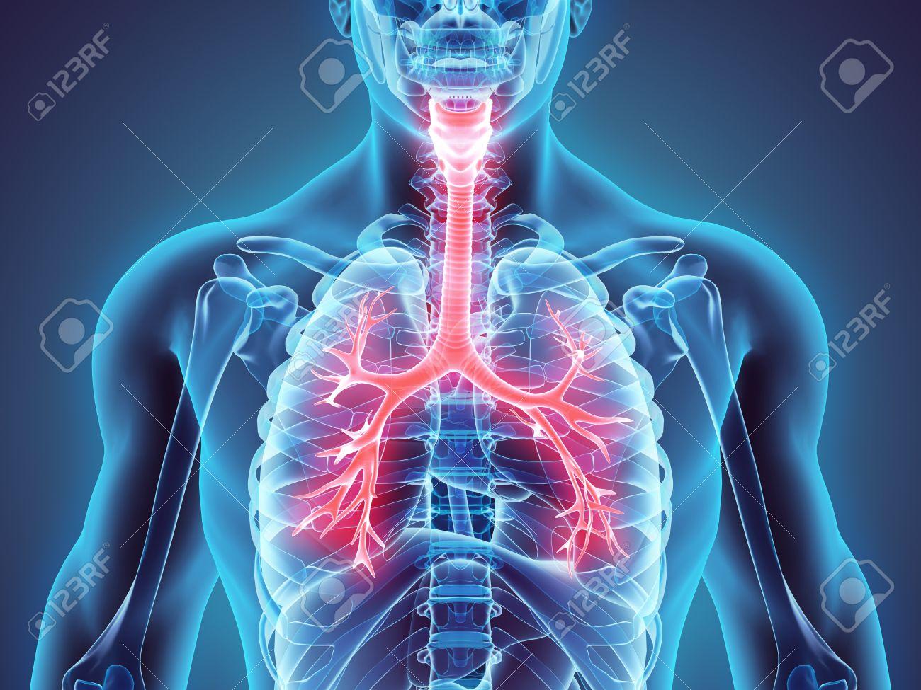 3D illustration of Larynx Trachea Bronchi Part of Respiratory System. - 57876839