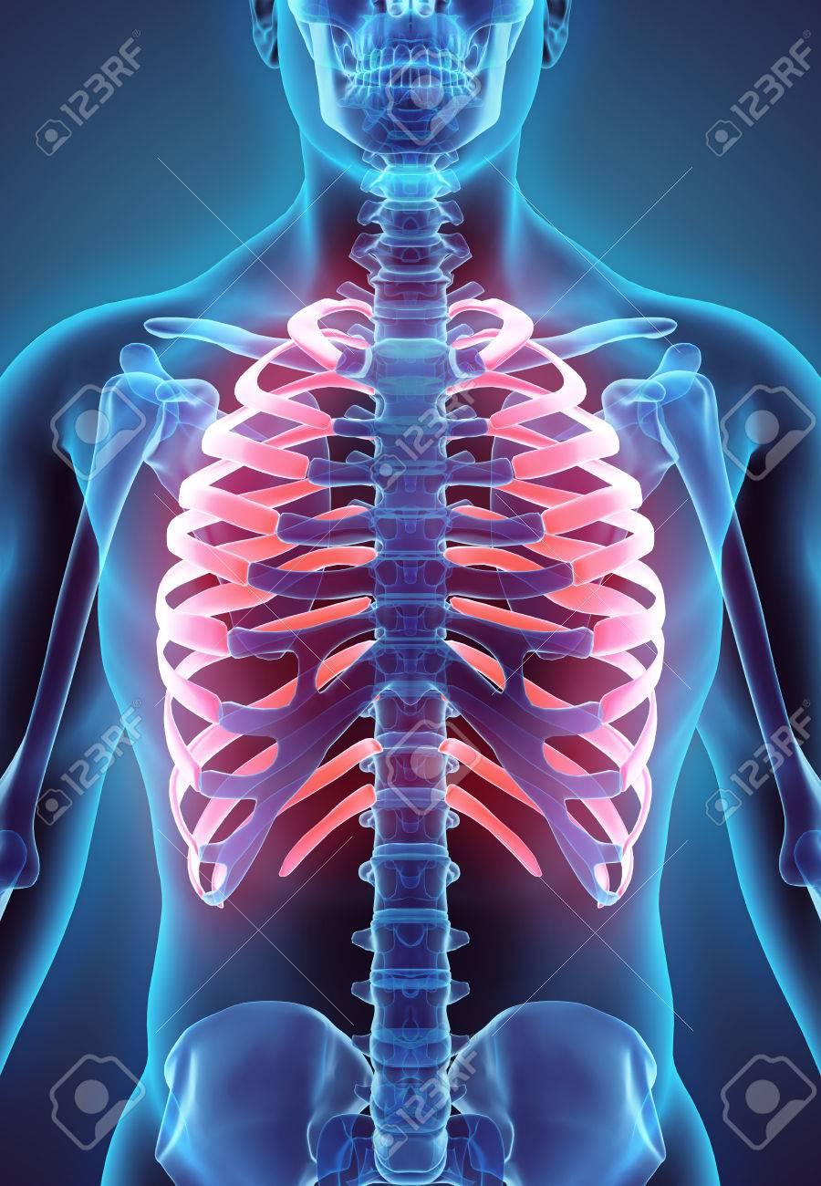 Ilustración 3D De Costillas - Parte Del Esqueleto Humano. Fotos ...