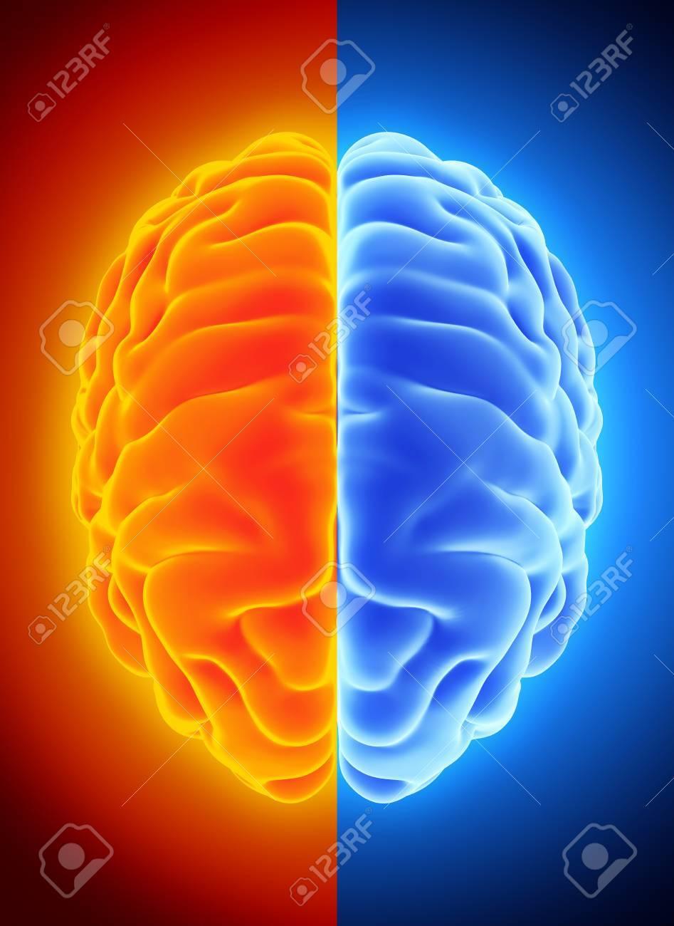 Ejemplo 3D Del Medio Cerebro Azul Y Anaranjado, De La Anatomía Y Del ...