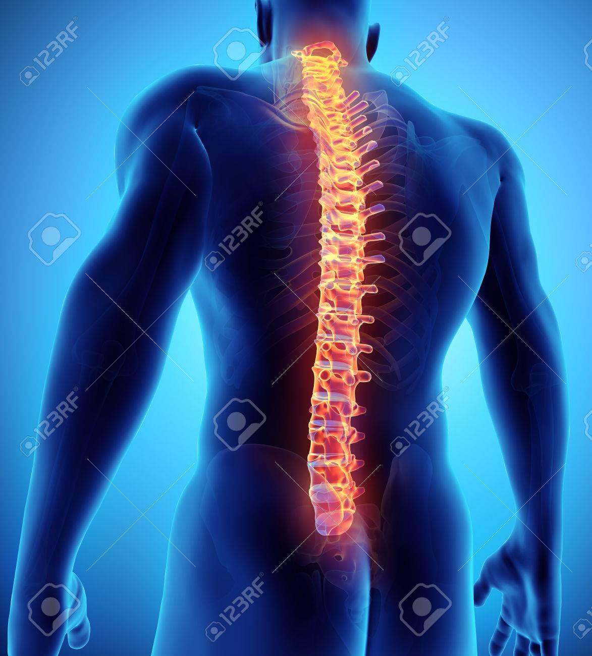 Ilustración 3D De La Espina Dorsal - Parte Del Esqueleto Humano ...