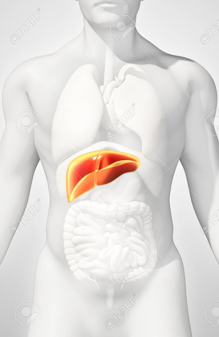3d Illustration Of Liver Part Of Digestive System Stock Photo