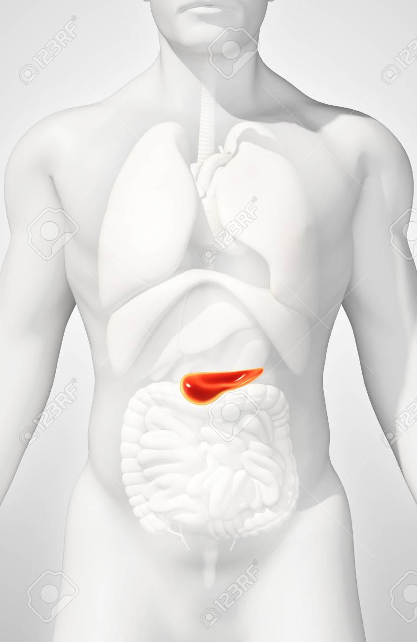 Ilustración 3D De Páncreas - Parte Del Sistema Digestivo, Concepto ...
