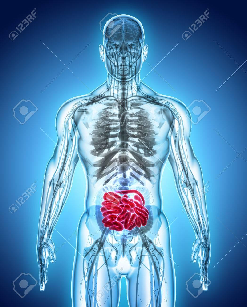Berühmt Bilder Des Verdauungssystems Bilder - Menschliche Anatomie ...