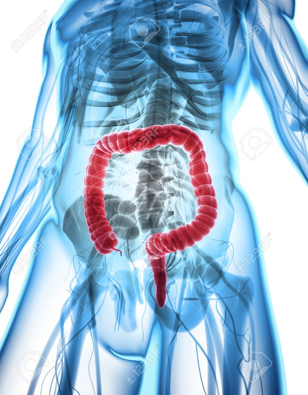 3d Illustration Of Large Intestine Part Of Digestive System Stock