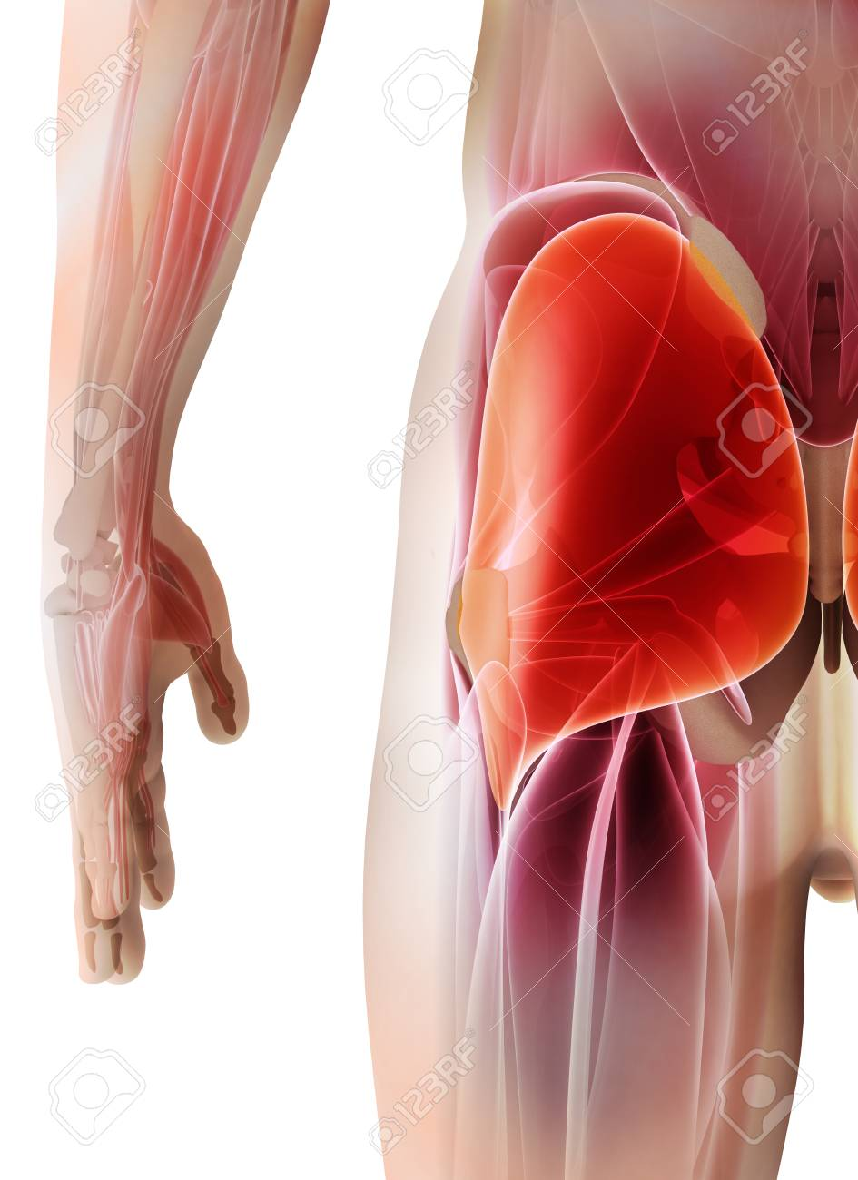 3d Illustration Of Gluteus Maximus Part Of Muscle Anatomy Stock