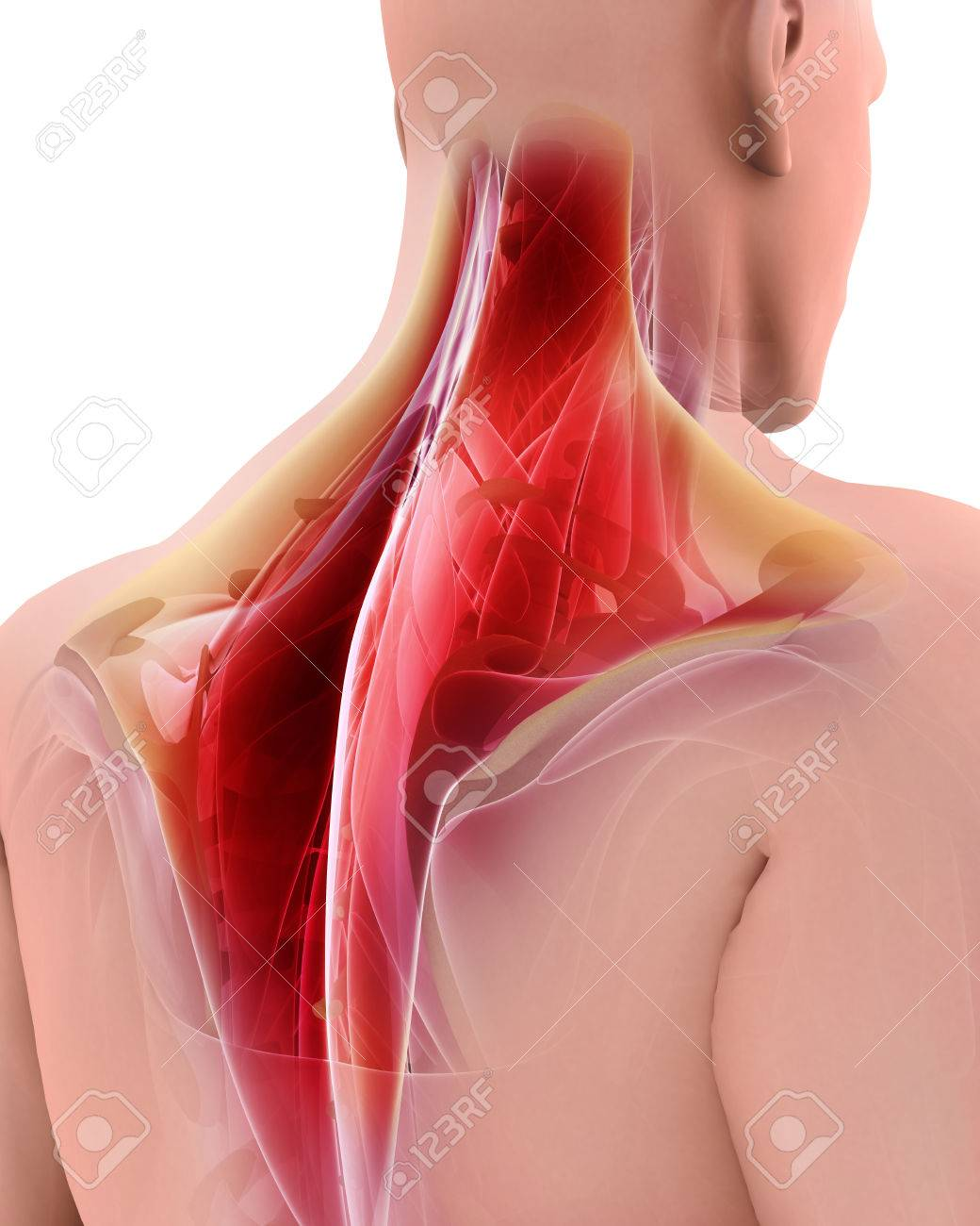 3D Illustration Of Trapezius, Part Of Muscle Anatomy. Stock Photo ...
