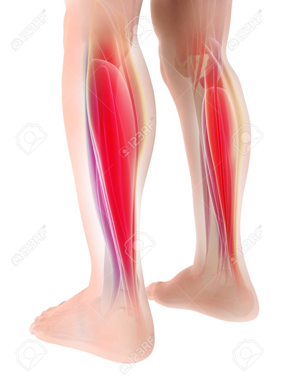 3D Illustration Of Gastrocnemius, Part Of Legs Muscle Anatomy ...
