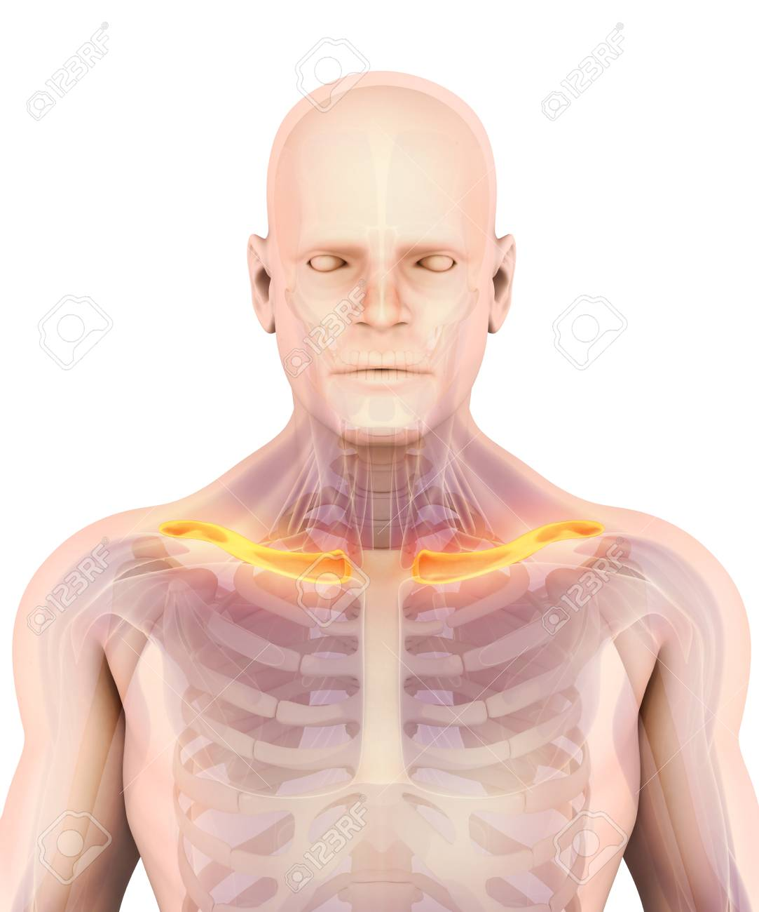 3d Illustration Of Clavicle Part Of Human Skeleton Stock Photo