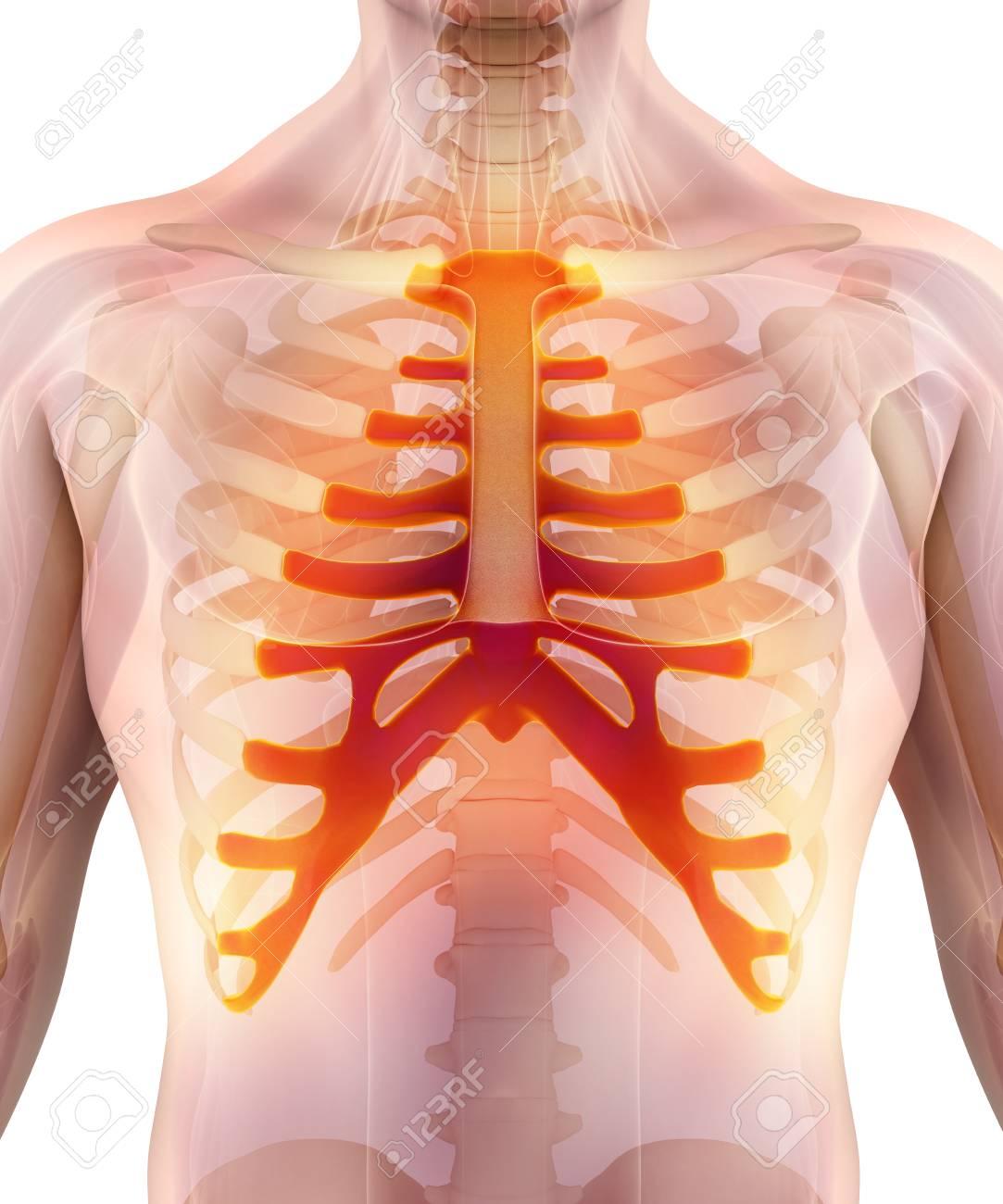 Ilustración 3D Del Esternón - Parte Del Esqueleto Humano. Fotos ...