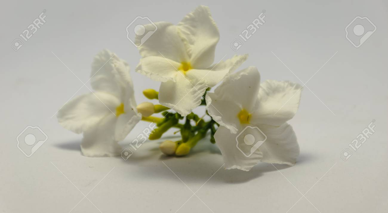 Gardenia flower is blooming with is isolated image white background gardenia flower is blooming with is isolated image white background stock photo 79058275 izmirmasajfo