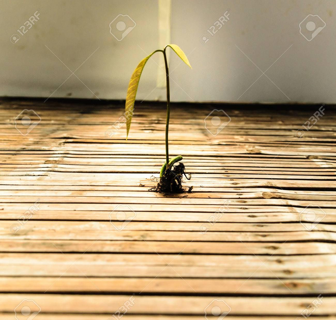 Helle Mangobaume Wachsen Das Wachstum Eines Neuen Lebens Und Legen