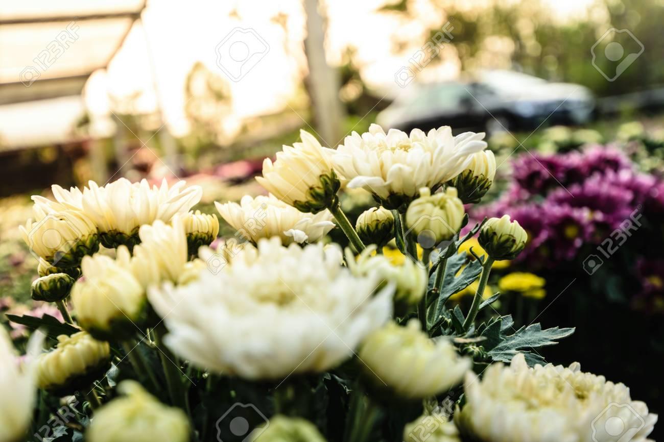 White Chrysanthemum Flower Beautiful Garden Texture Background
