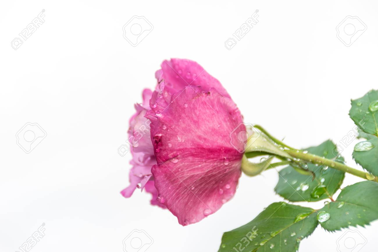 Pink Rose Isolated With White Background Perfume Flower In Love