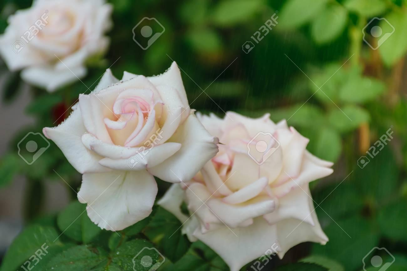 White Rose Petal Wet Of Drop Water Look Like To Be Fresh