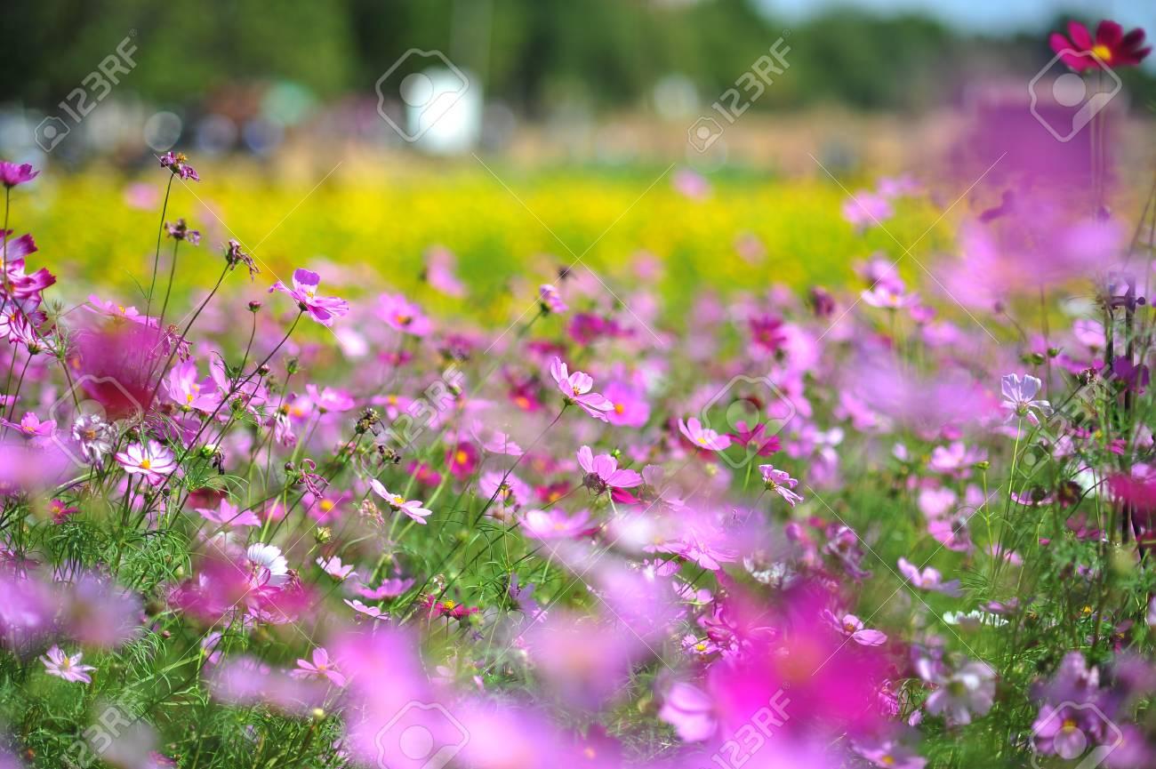 Pianta Fiori Rosa.Immagini Stock Fiore Rosa Dell Universo Sul Fondo Della Nuvola