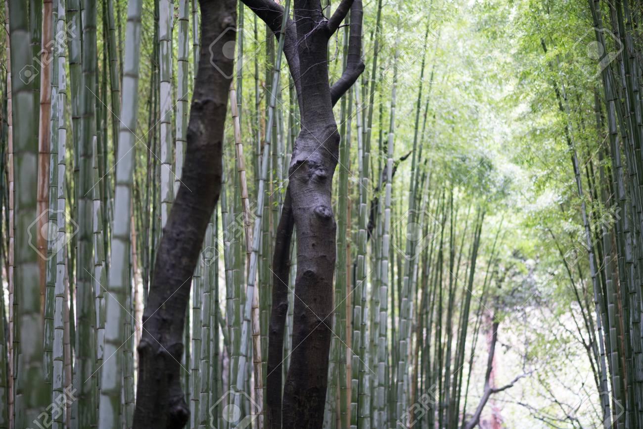 Bosco Di Bamb.Bosco Di Bambu A Sagano Arashiyama Kyoto Turismo Del Giappone