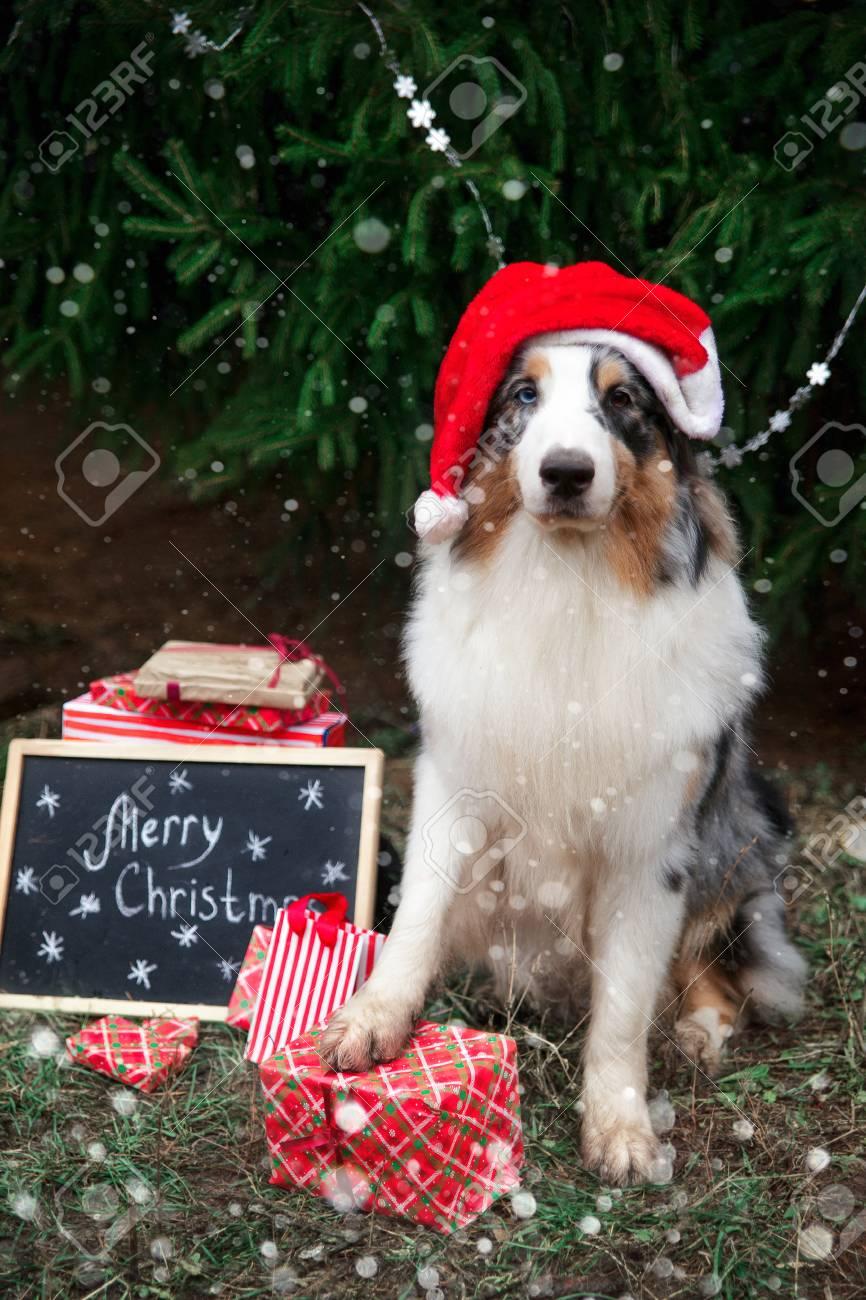 The Christmas Shepherd.Australian Shepherd In Red Santa Hat Posing Under The Christmas