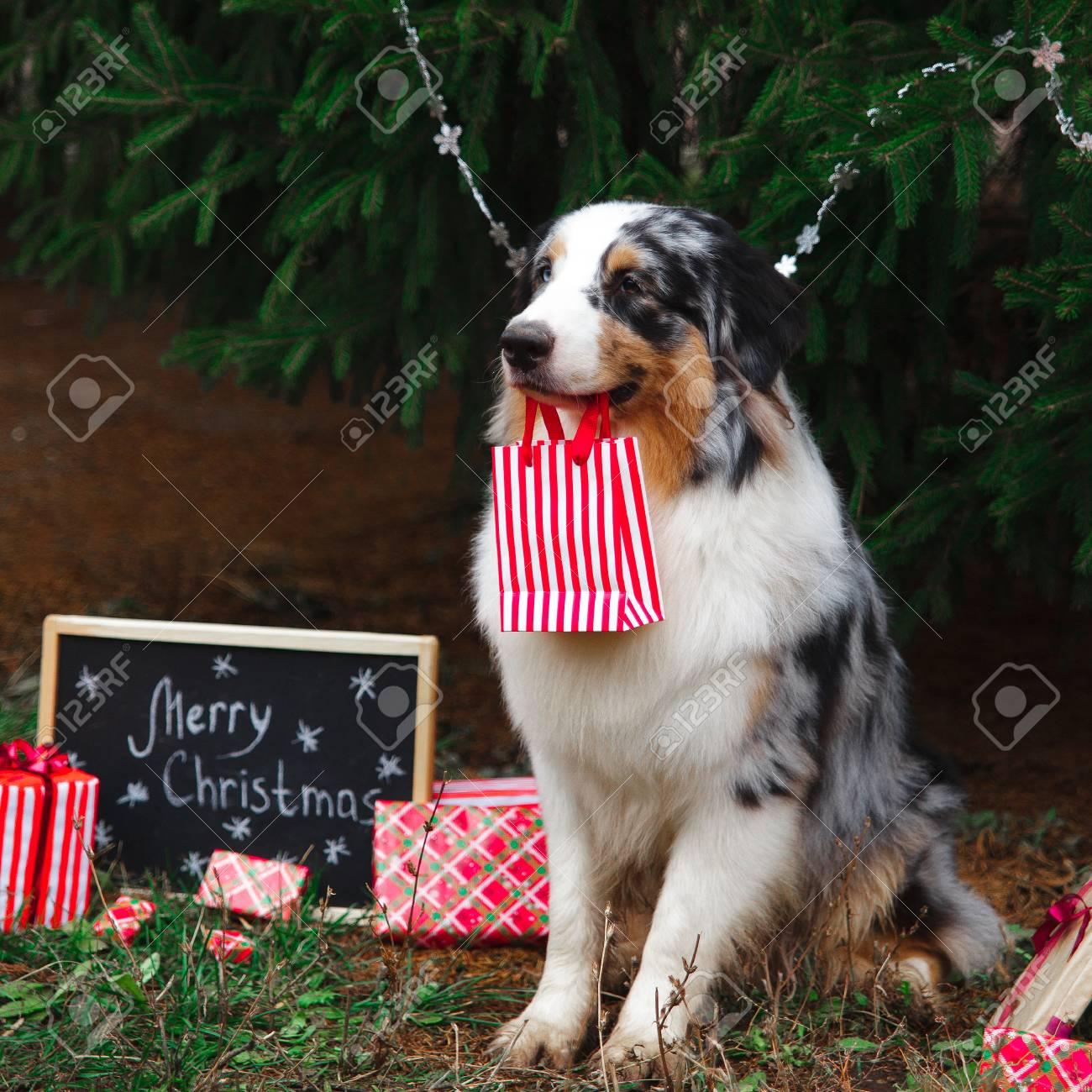 The Christmas Shepherd.Australian Shepherd Holding A Gift Bag In The Mouth Sitting Under